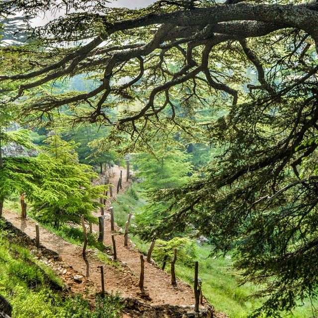 Hiking through the Lebanese cedars of God....