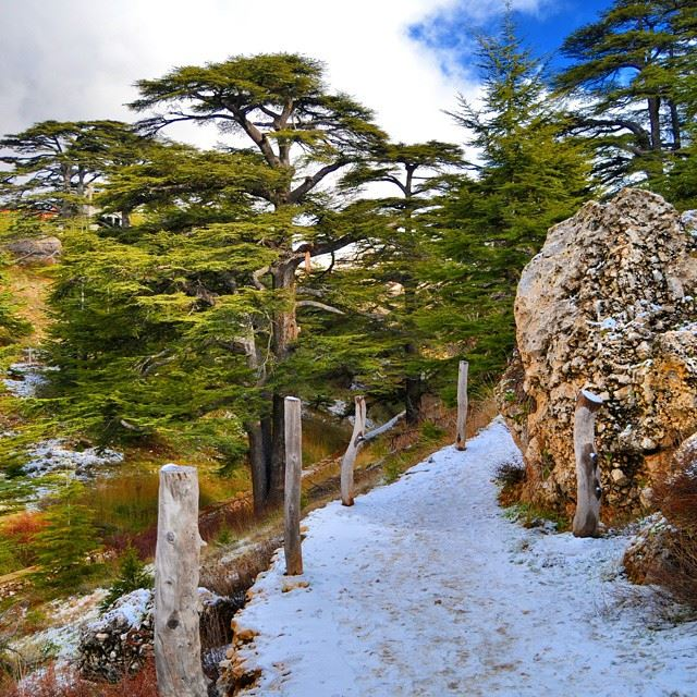 The cedar forest of LebanonWay up to the middle of the forest covered by...