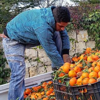 Selling oranges and clementines from his truck alerting the would-be... (Dayr Al Qamar, Mont-Liban, Lebanon)