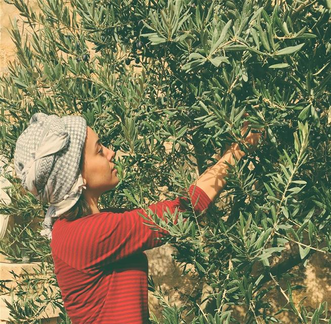 ... كان غير شكل الزيتون 🌿 olives arabicturban arabic turban season ... (Saghbin, Béqaa, Lebanon)
