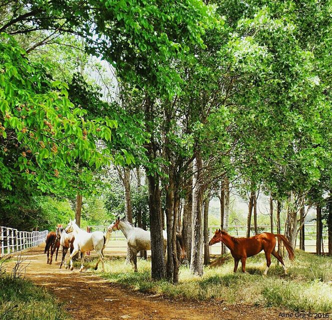 White or Brown ?! ❤🐎 mydreamfarm livelovebekaa horse farm westbekaa ... (حوش عميق)