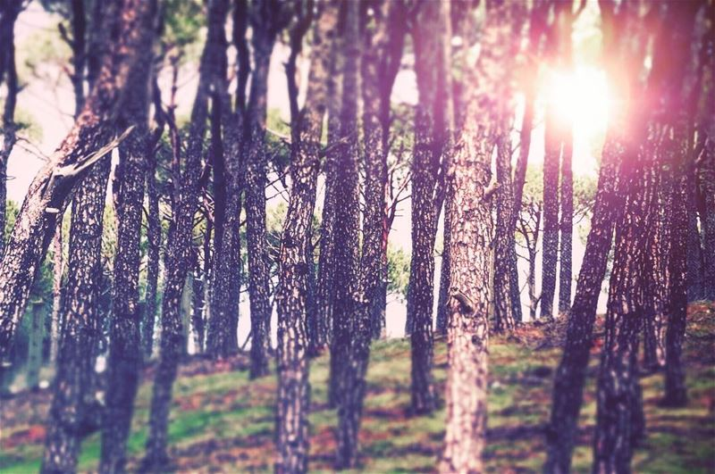 It will always shine ! sun morning sunrise pine trees Barouk ... (Bâroûk, Mont-Liban, Lebanon)