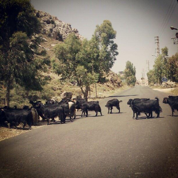 goats crossing the road animal picoftheday picoftheweek bekaa ...