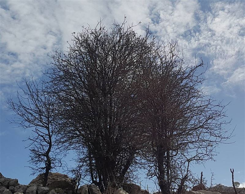 In seasons of loss they stand revealing who they really are 🌳 tree... (Baskinta, Lebanon)