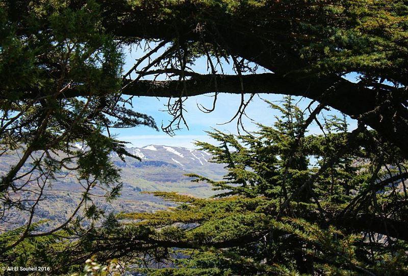 tb tannourine cedar cedars forest mountains sky... (Tannourine)