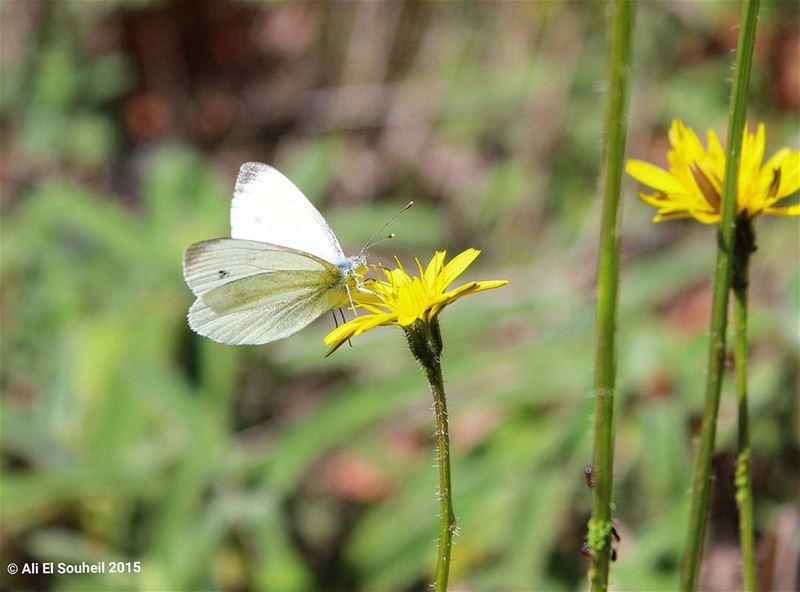 tb butterfly flower yellow closeup kfardebian ... (Kfardebian)