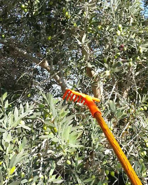 غير شكل الزيتون زيتون غير_شكل🌳 sunday morning zaytoun olive tree ... (Khorbet L Dweir)