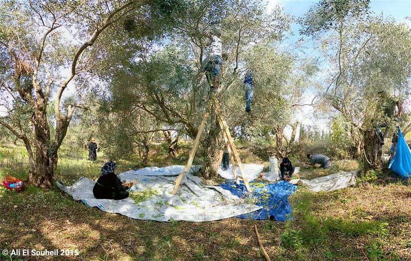 sunday zaytounaday olive tree selfie brother cousin zaytoun ... (Khorbet L Dweir)