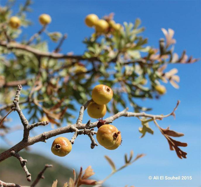 زعرور 😍 yellow fruit hawthorn nature tree healthy lebanese ... (Kefraya Bekaa)