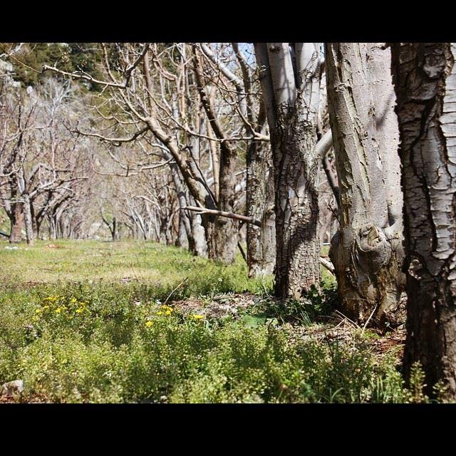 apple trees perspective nature green valley mountain lebanon ...