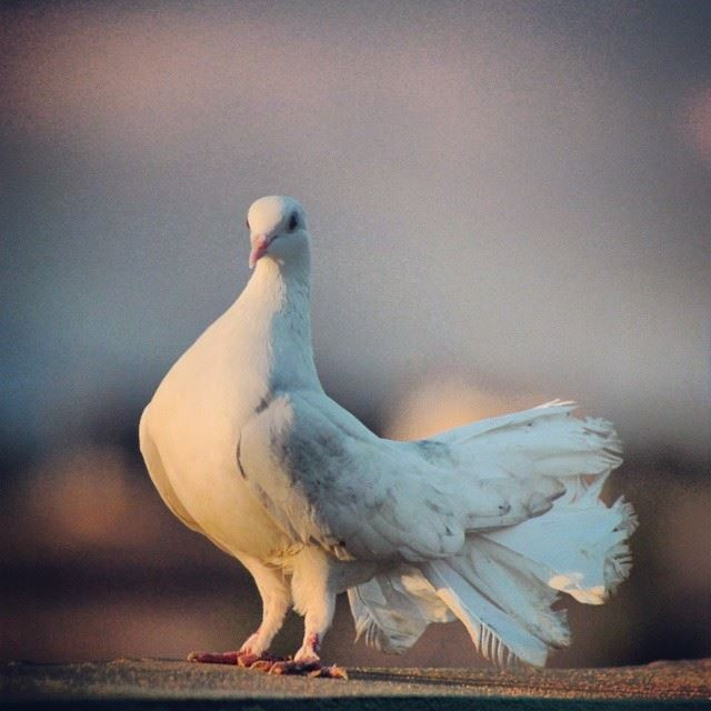 pigeon  bird  white  peace  awesome  blur  background  king  lebanon ...
