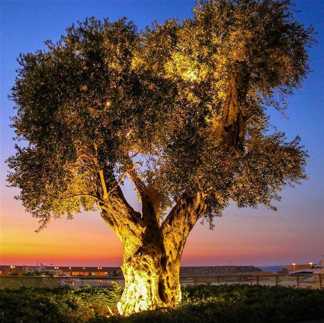 Spotlight on the Zeitouna (olive tree) and Sunset before the city 🌃🌳🌅.... (Zeitouna Bay, Beirut , Lebanon)