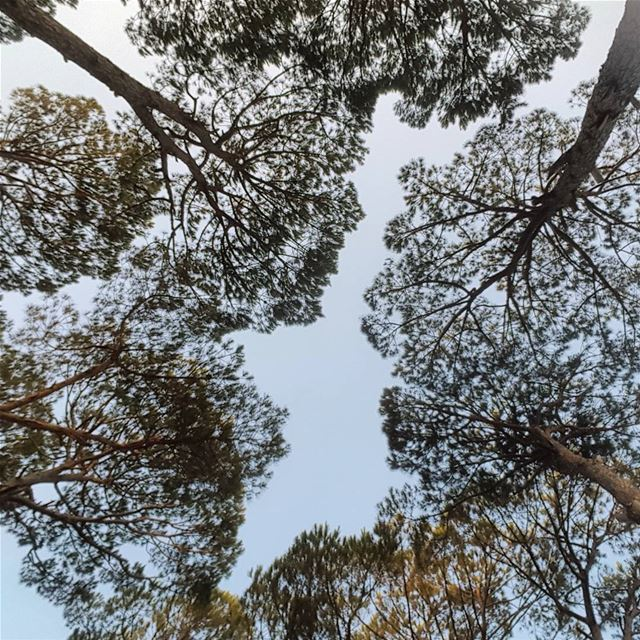 Looking up. 🌳 pine forests of lebanon nature trees sky blue ... (Ras ALMaten)