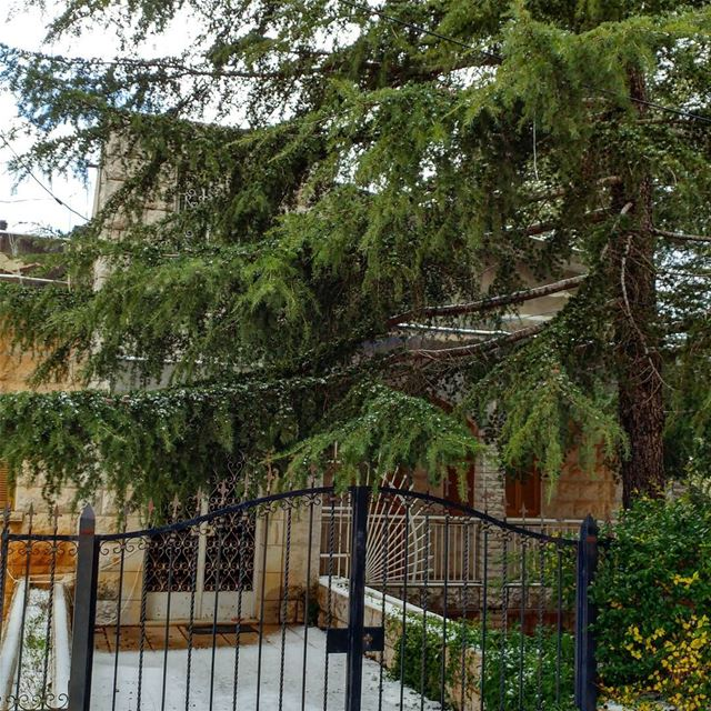 Nice to have a majestic cedar in front of one's residence. residency ... (Deïr El Qamar, Mont-Liban, Lebanon)