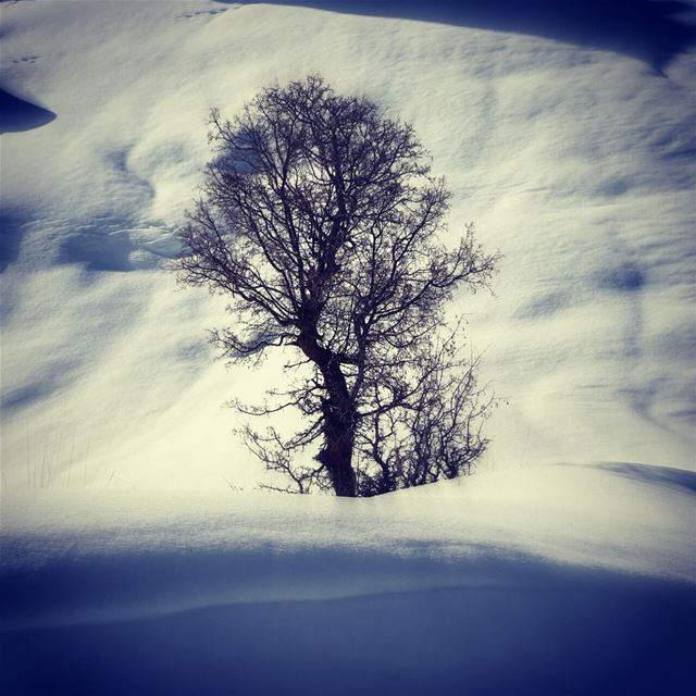 Alone in the cold !! leafless tree snow white arbre neige nature ... (El Laklouk, Mont-Liban, Lebanon)