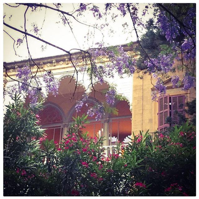 Jacarandas in bloom! Beautiful ephemeral purple days 💜 💜💜 Ashrafieh,... (Achrafieh, Beirut)