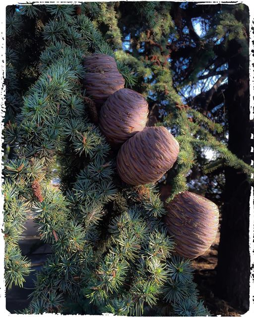 Cedar cone tree arbre cedartree ig_lebanon treescollection ...