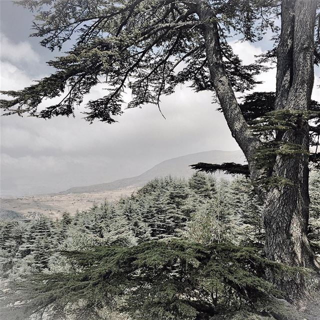 Emblematic cedar cedartree ig_lebanon hd_lebanon tree ig_trees ...