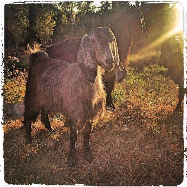 Goat in end of day light mountain rural_love goat chevre ig_lebanon ...