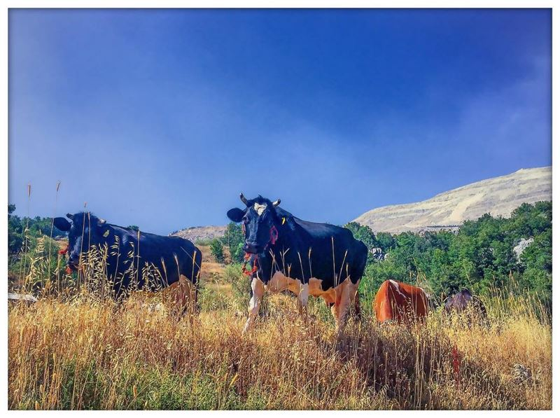 Indulge in nature nature_perfection mountain mountainlovers cows ...
