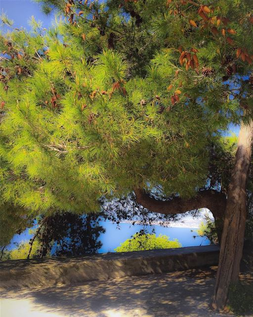 Pine tree and cones nature sea landscape tree_magic tree_captures ...