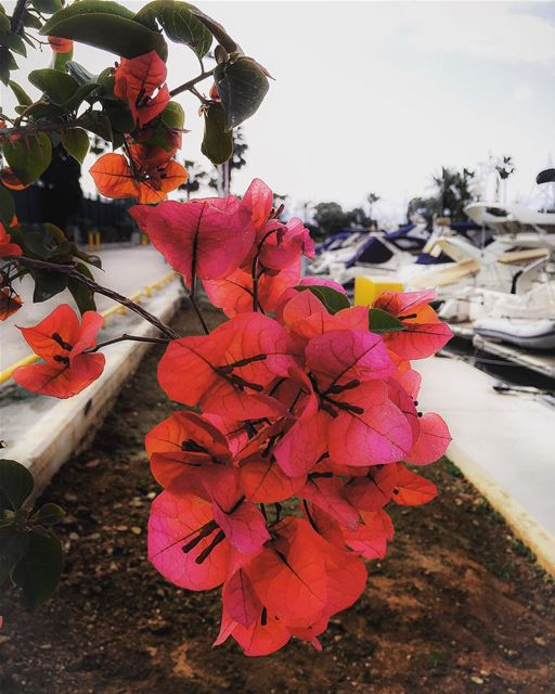 Bougainvillea by the seaside flowers flowerpower flowersandmacro boat...