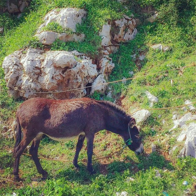 This donkey was grazing by the roadside, tied with a rope so it could not...