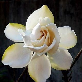 flowers gardenia white color nature photos pics photography ...