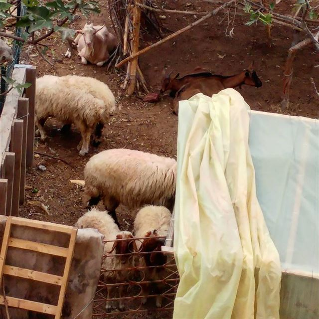 Small makeshift house for the farm animals. farmanimals sheep goats ... (Dayr Al Qamar, Mont-Liban, Lebanon)