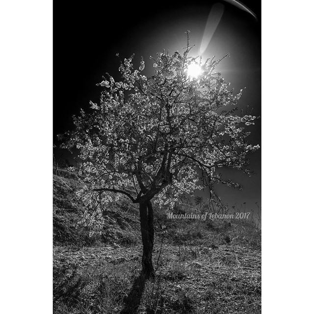 First Shot of a blossomed almond tree in 2017! Trial in Black & WhiteShot... (Kfar Hazîr, Liban-Nord, Lebanon)