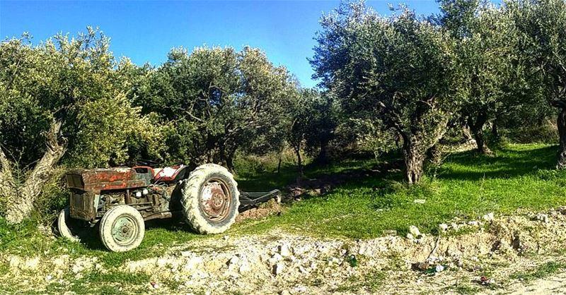 هيا الى بساتين الزيتون !! livelovelebanon livelovebeirut livelovechekka... (Shikka, Liban-Nord, Lebanon)