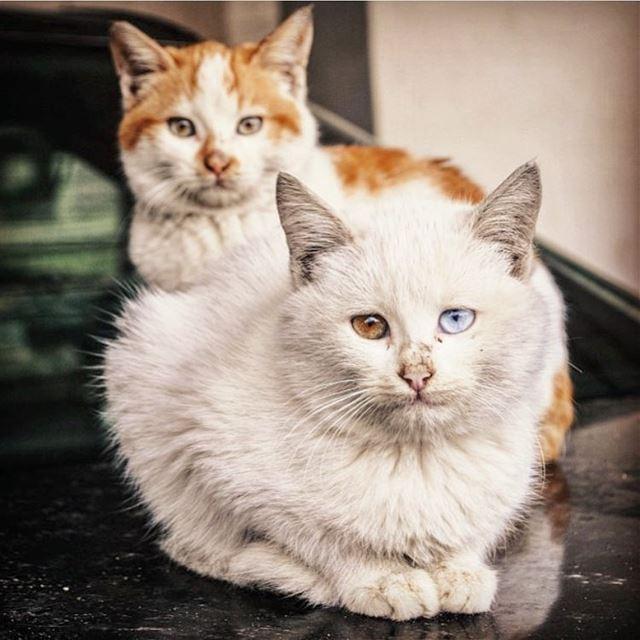 Wild beauties.•••••••••••••••••• cats lebanon catsofinstagram ... (Joünié)