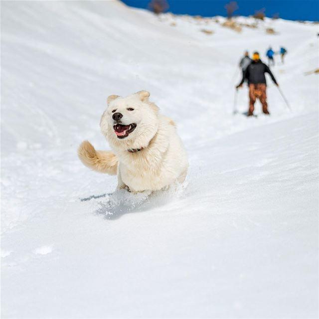 Running in the white 🐶❄️ lebanon falougha snow snowshoeing run ... (Falougha, Mont-Liban, Lebanon)