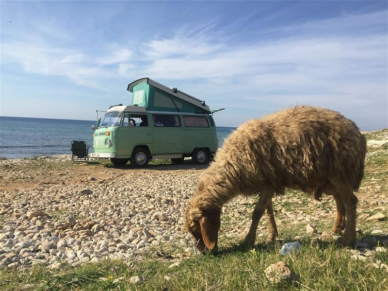 We are having a whale of a time exploring Lebanon in the wandervan! Sheep...