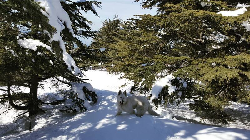 Even dogs get to exercise outdoors on Sundays snowshoeing cedars ...