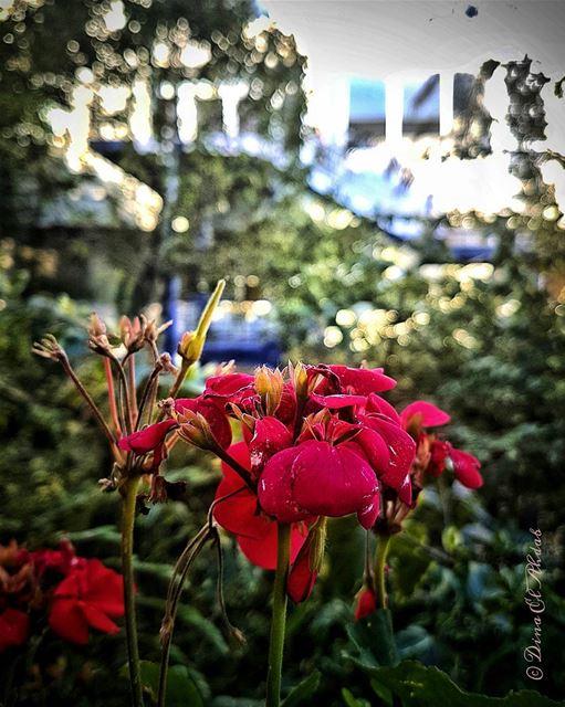 """""""L'homme regarde la fleur, la fleur sourit.""""_____ flowerslovers ... (USJ Mansourieh)"""