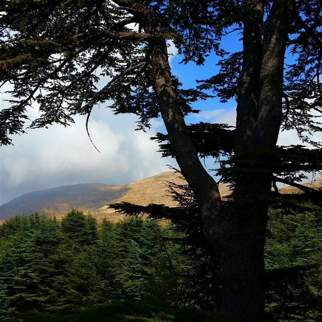 Eyes on the forest🌲🌲🌲🌲🌲,not on the tree🌲 livelovebeirut... (Arz Tannourine)