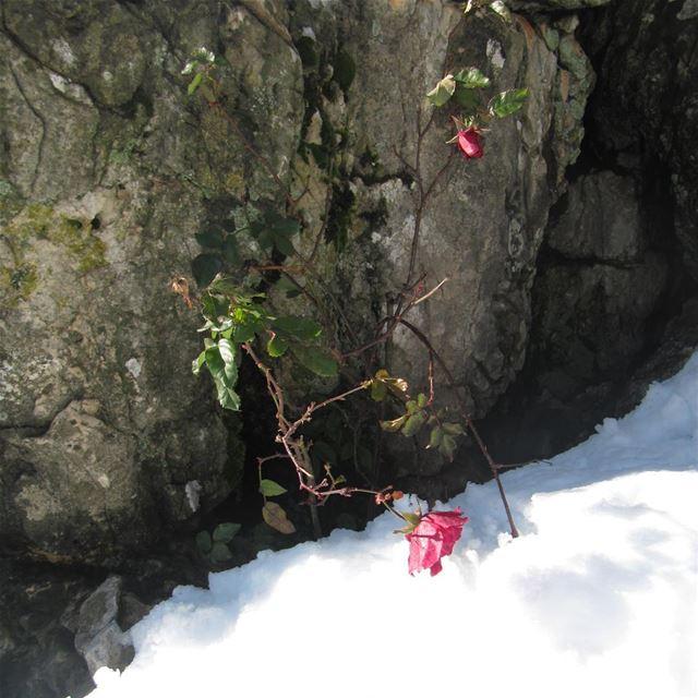 Brin d'espoir🌹 rose neige brindespoir espoir beaute lebanon ...