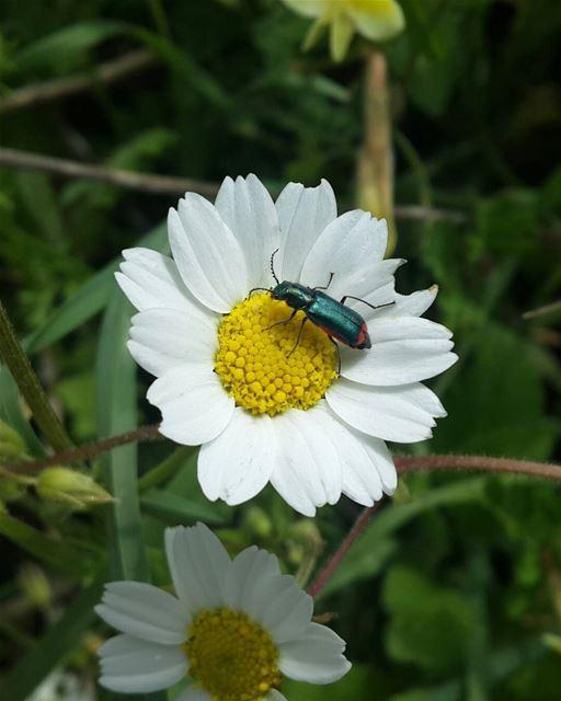 picoftheday lebanon mountain spring nature white flower insect nikon...