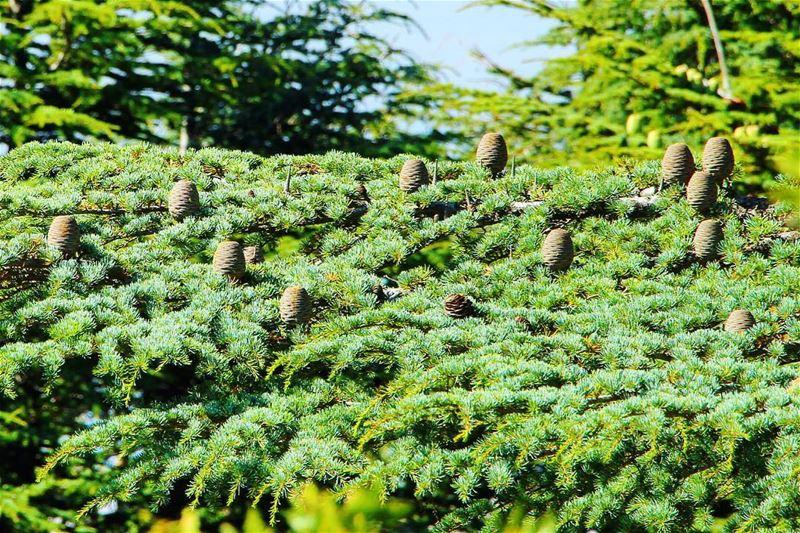 Cedars... lebanon lebanon_hdr ig_lebanon insta_lebanon wearelebanon ... (Arez Al Barouk)