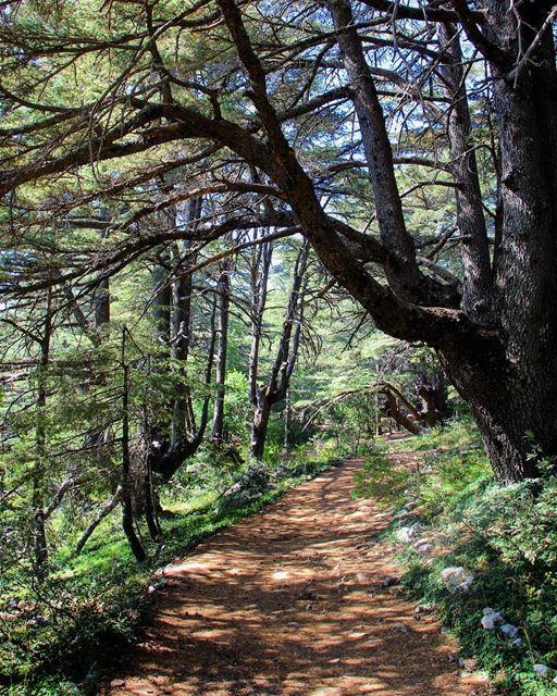 Sun and shadows .... lebanon lebanon_hdr ig_lebanon insta_lebanon ... (Barouk Cedar Forest)