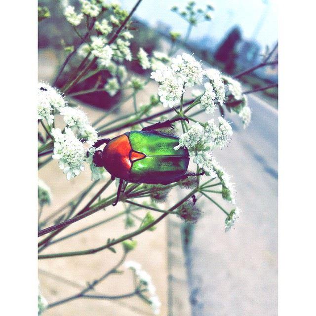 InstaSize bug lebanon insect beirut ...