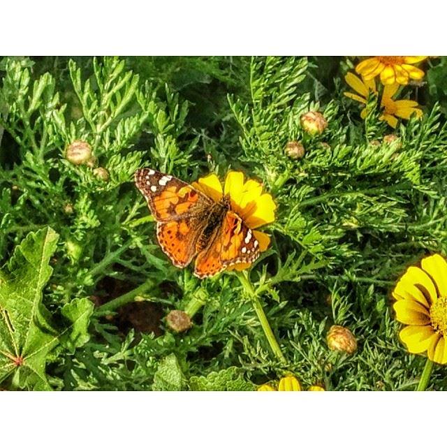 spring butterfly beirut lebanon hdr ...