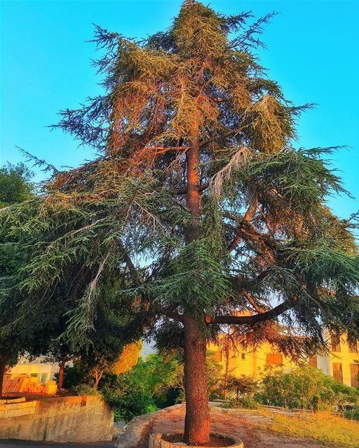 """"""" جذورها في الأرض ورأسها في السماء..."""" whatsuplebanon insta_lebanon... (Bejjeh,lebanon)"""