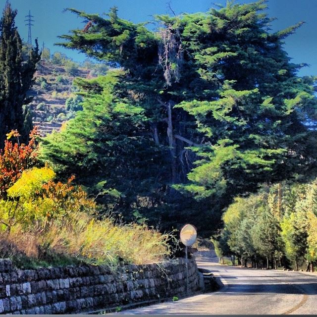 old tree morning alshouf lebanon nature sun autumn cedertree sunlight...