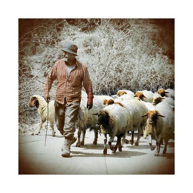 Mr seguin & his lebanese sheeps. lebanese Lebanon herd sheperd ...