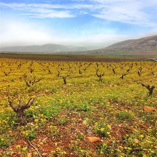 Yellowish field at Beqaa 😍 lebanon nature naturelovers natureporn ... (West Bekaa)