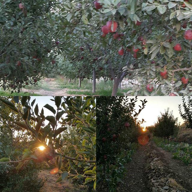 faqra lebanon appletrees sunset apple ...