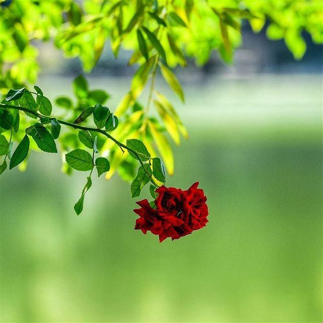 ..في خيالي...بس طيفك ألتقيه الورد  whatsupplebanon loves_lebanon ... (شتورة لبنان)