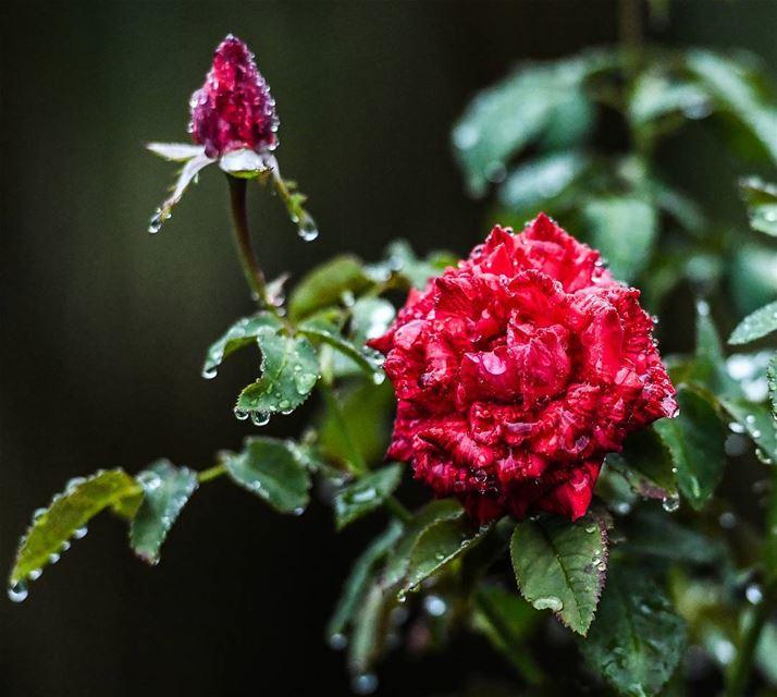 . ليت الأماكن...والبشر....والعمر....أنت... الورد ... lebanoninstagram ...